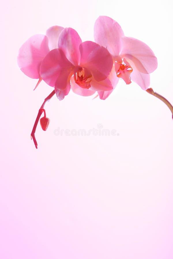 兰花粉红色 免版税图库摄影