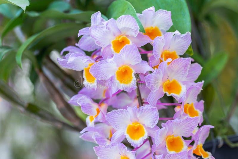 兰花花在兰花庭院里在冬天或春日秀丽和农业构思设计的 石斛兰属lindleyi兰科 免版税图库摄影