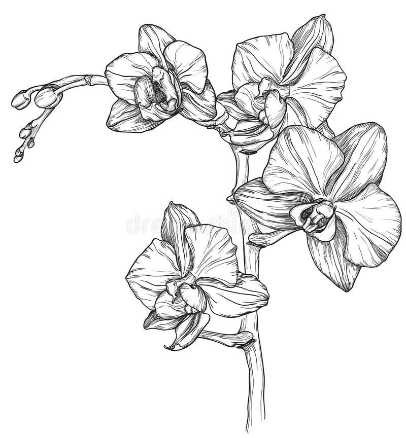 兰花花开花剪影  向量例证