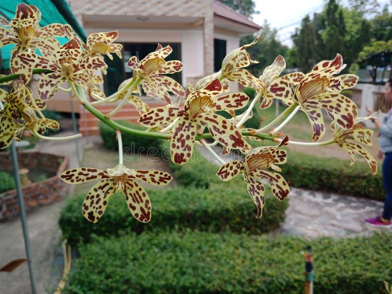 兰花,如果我们听见这朵兰花 感受恐惧与名字的多数 样式类似于那老虎 免版税库存图片