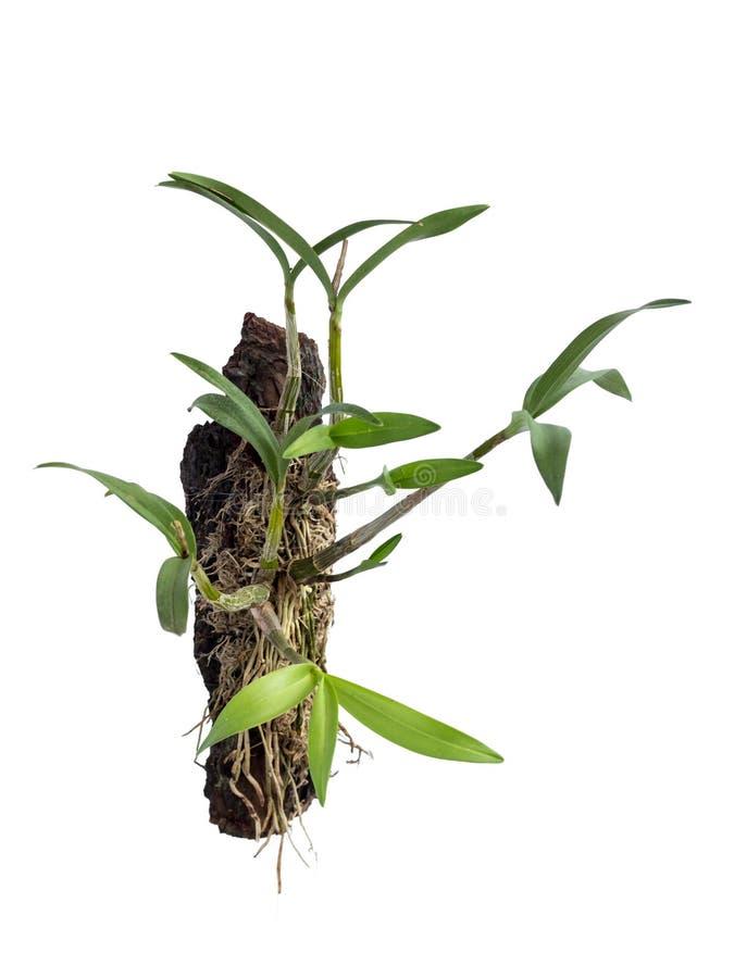 兰花,家庭兰花的植物,种植在一块木头,隔绝在白色背景 白色的附生植物 免版税库存照片