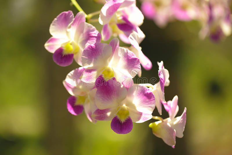 兰花紫色在泰国被认为花的女王/王后 库存图片