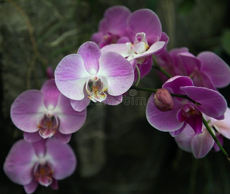 兰花紫色被认为花的女王/王后 免版税库存图片