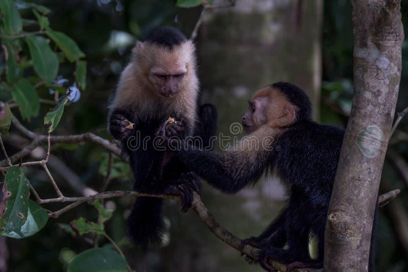 共享成果的连斗帽女大衣猴子在密林 免版税库存照片