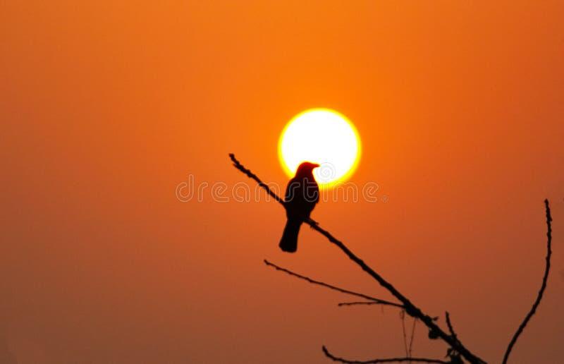 共同的乌鸦孟加拉国 免版税库存图片