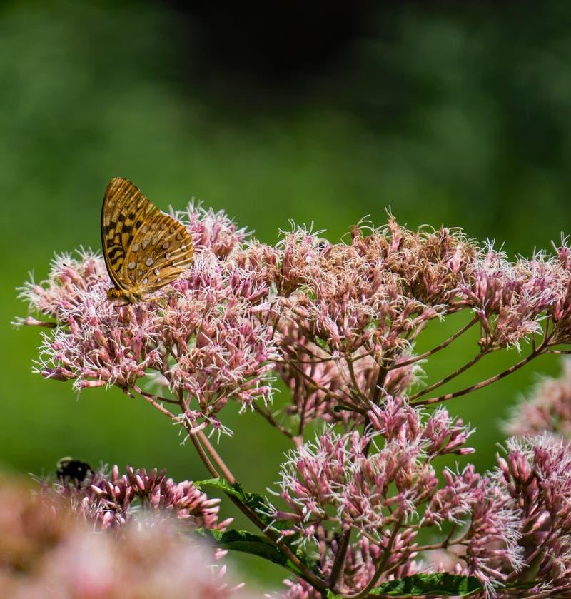 共同的乳草和一只伟大的闪烁的贝母蝴蝶 免版税图库摄影