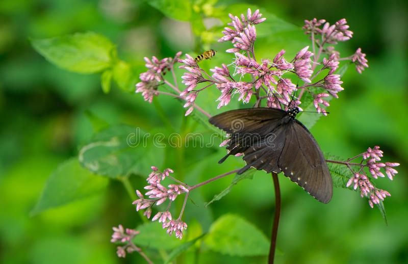 共同的乳草和Spicebush Swallowtail蝴蝶 图库摄影