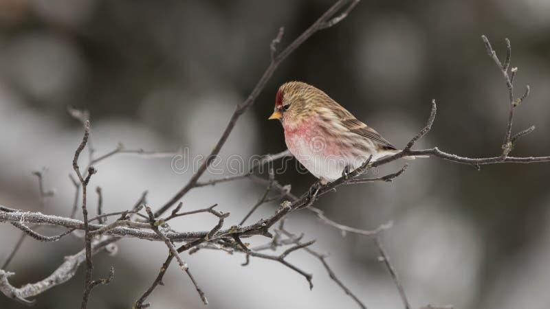 共同的公红弱鸟鸟 免版税库存图片