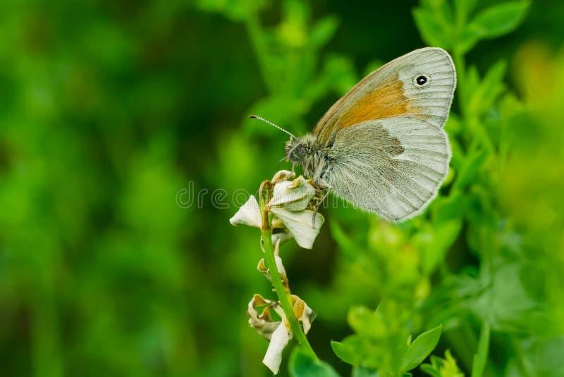 共同的卷发蝴蝶 免版税图库摄影