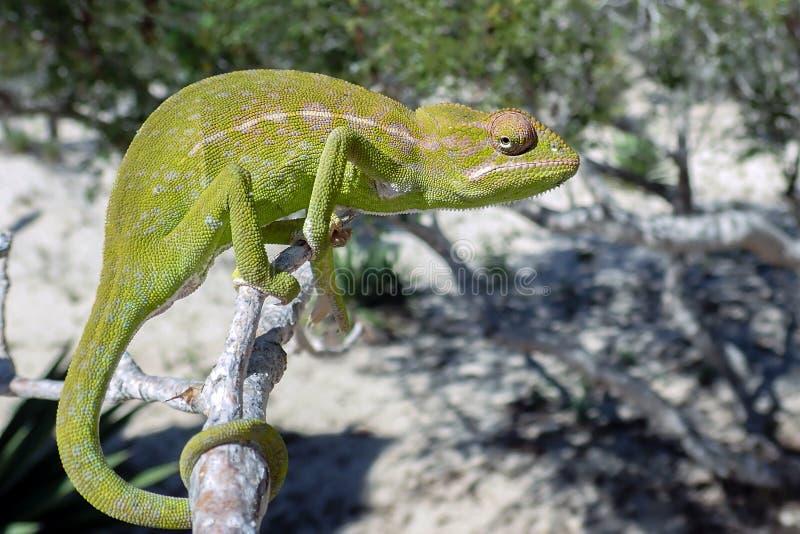共同的变色蜥蜴Chamaeleo堰蜒座,共同的变色蜥蜴马达加斯加 库存图片
