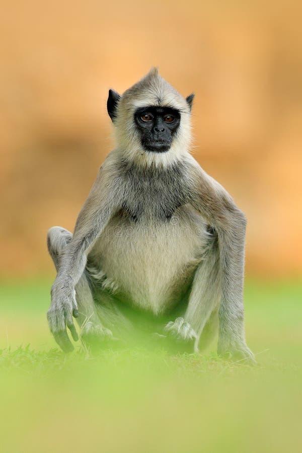 共同的叶猴, Semnopithecus entellus,坐在草,自然栖所,斯里兰卡的猴子 与叶猴的哺养的场面 野生生物  库存照片