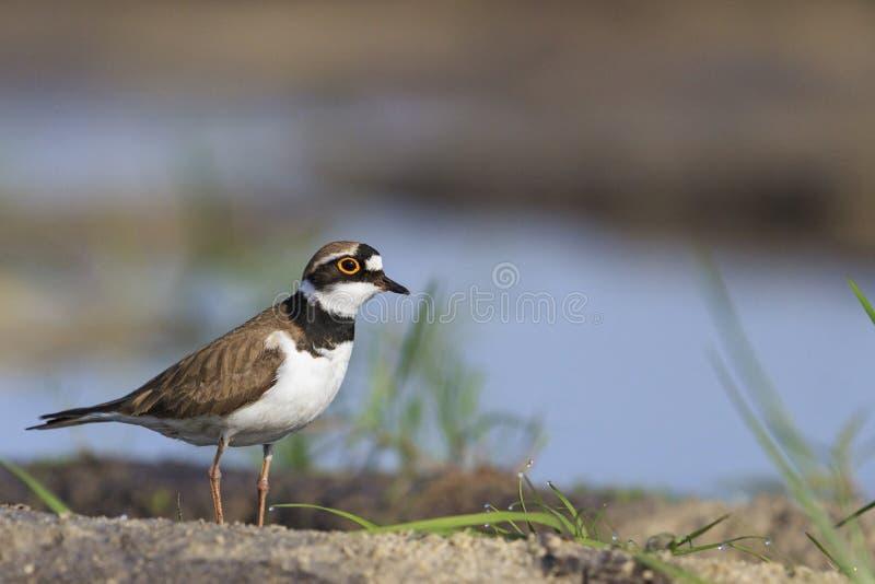 共同的圈状的珩科鸟和露水在草 免版税库存照片