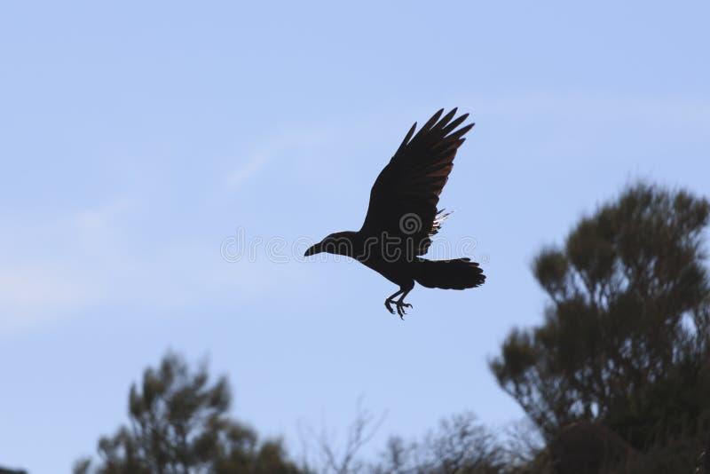 共同的在天空蔚蓝的掠夺乌鸦座corax登陆的siluet 免版税图库摄影