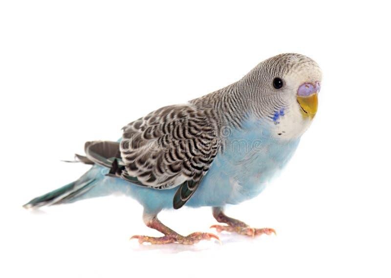 共同的宠物长尾小鹦鹉 免版税库存图片