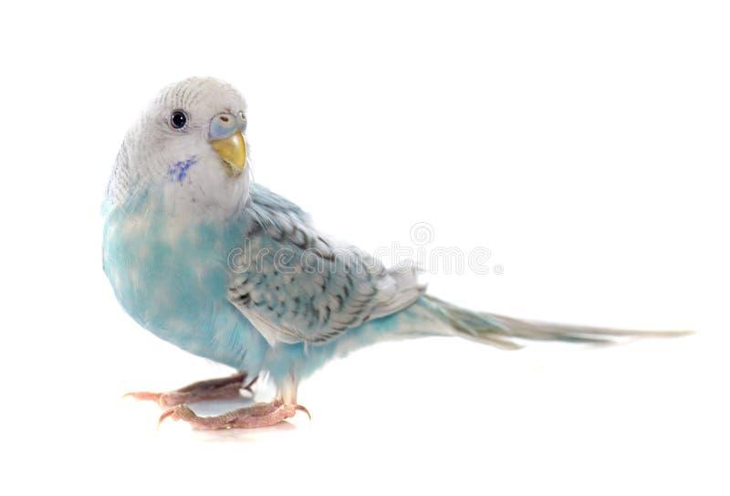 共同的宠物长尾小鹦鹉 库存图片