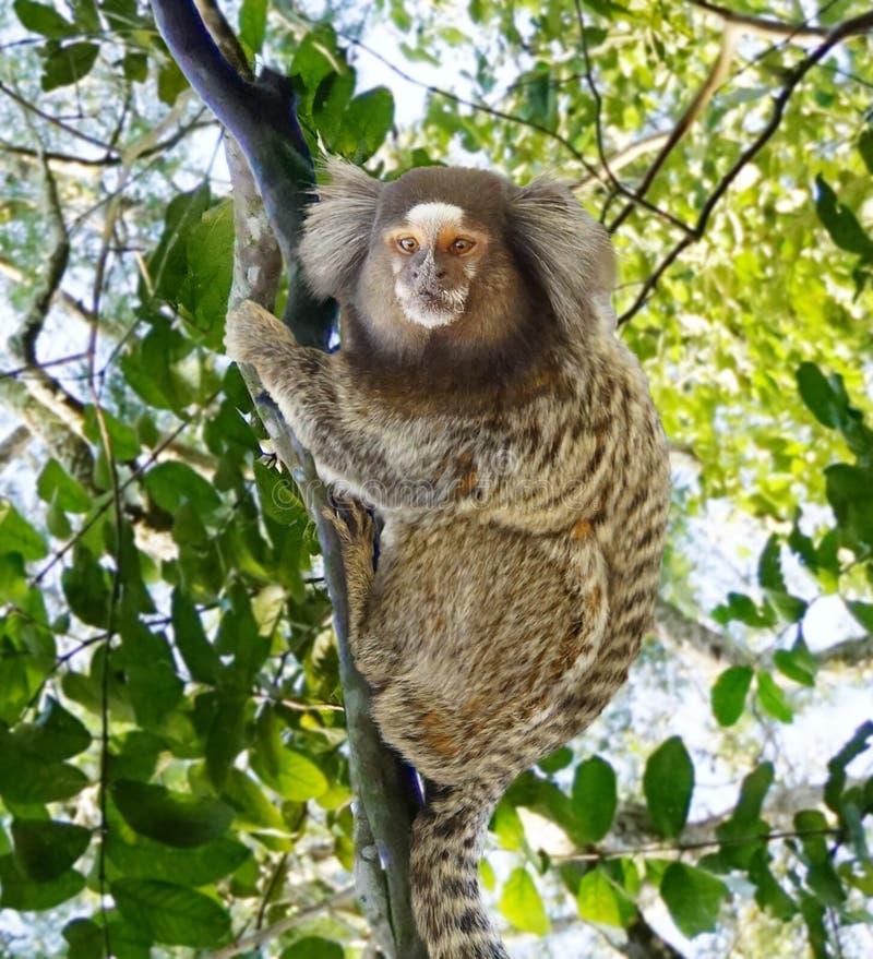 共同的小猿在巴西 免版税库存照片