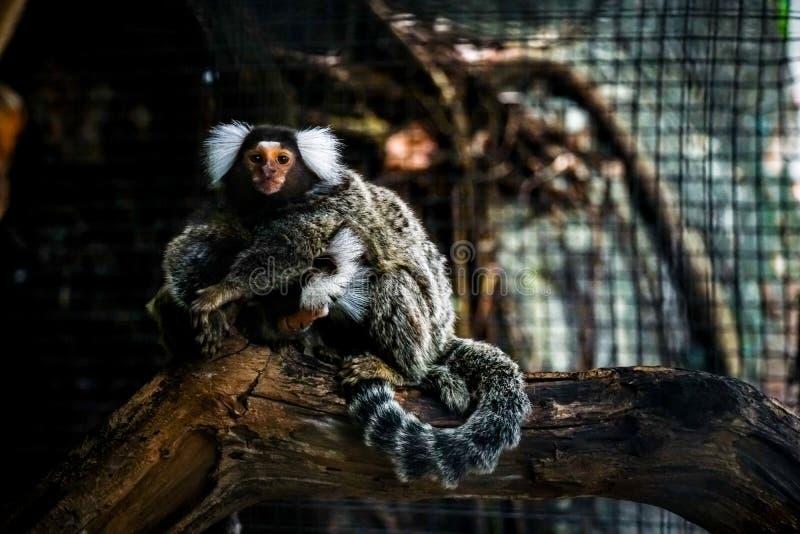 共同的小猿小猴子在动物园里 免版税图库摄影
