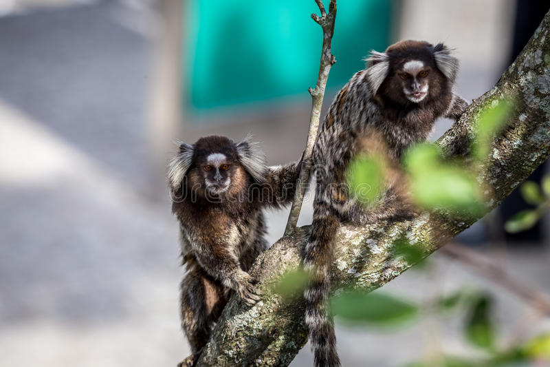 共同的小猿或白有耳的小猿 免版税库存照片