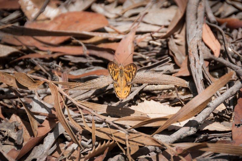 共同的布朗蝴蝶坐在干燥叶子和吠声中的一个森林地板 库存照片