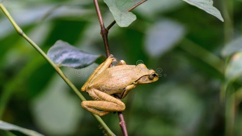 共同的布什,青蛙, Rhocoprus Leucomystax 库存照片