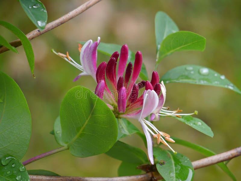 共同的忍冬属植物 免版税库存照片
