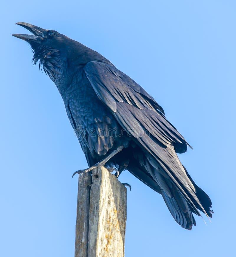 共同的掠夺乌鸦座corax在杆和呱呱地叫栖息 免版税库存图片
