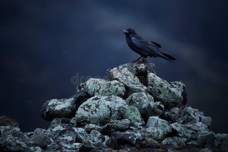 共同的掠夺乌鸦座corax坐在雪飞雪的岩石 库存图片