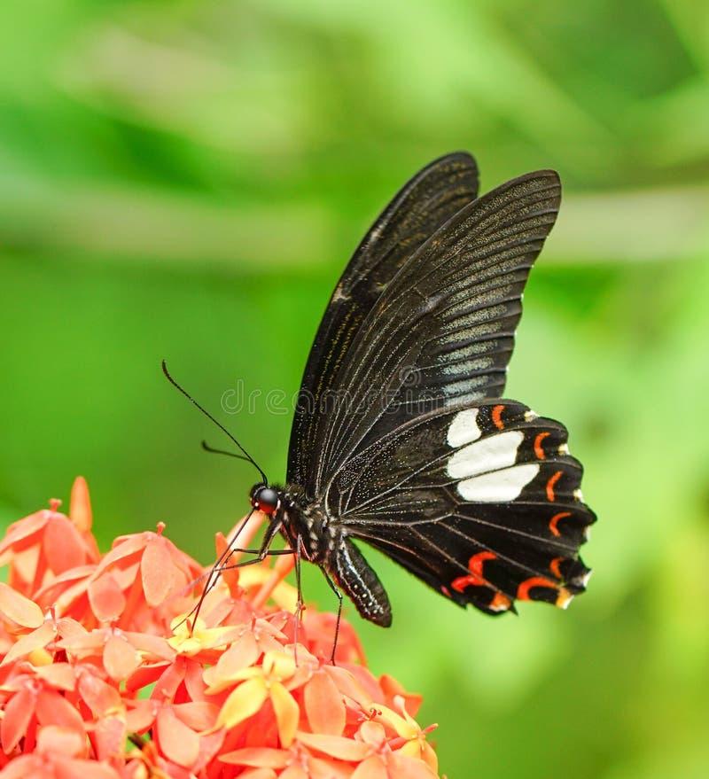 Download 共同的摩门教蝴蝶在庭院里 库存照片. 图片 包括有 蝴蝶, 摩门教徒, 愉快, 春天, 背包, 空间, beautifuler - 72353062
