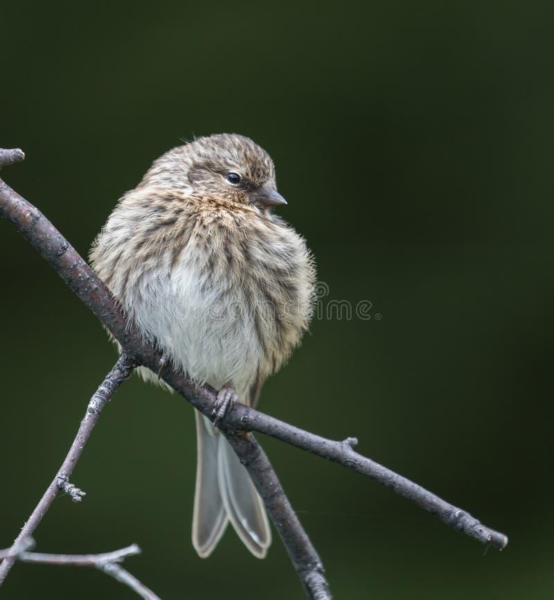 共同的未成熟的母红弱鸟鸟 库存图片