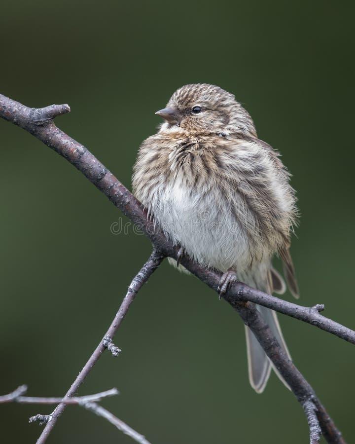 共同的未成熟的母红弱鸟鸟 库存照片