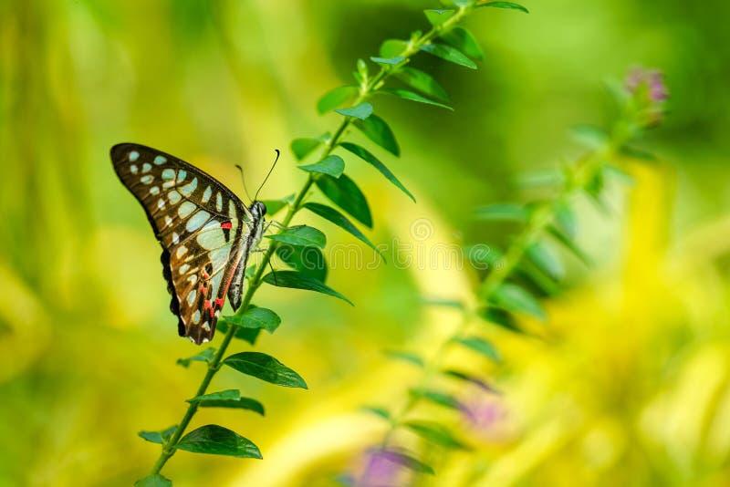 Download 共同的杰伊蝴蝶在庭院里 库存图片. 图片 包括有 复制, 昆虫, 文本, 工厂, 绿色, 视图, 环境, 夏天 - 72353575