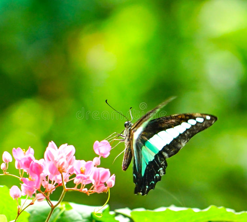 Download 共同的杰伊蝴蝶在庭院里 库存照片. 图片 包括有 庭院, beautifuler, 视图, 飞行, 杰伊 - 72353684