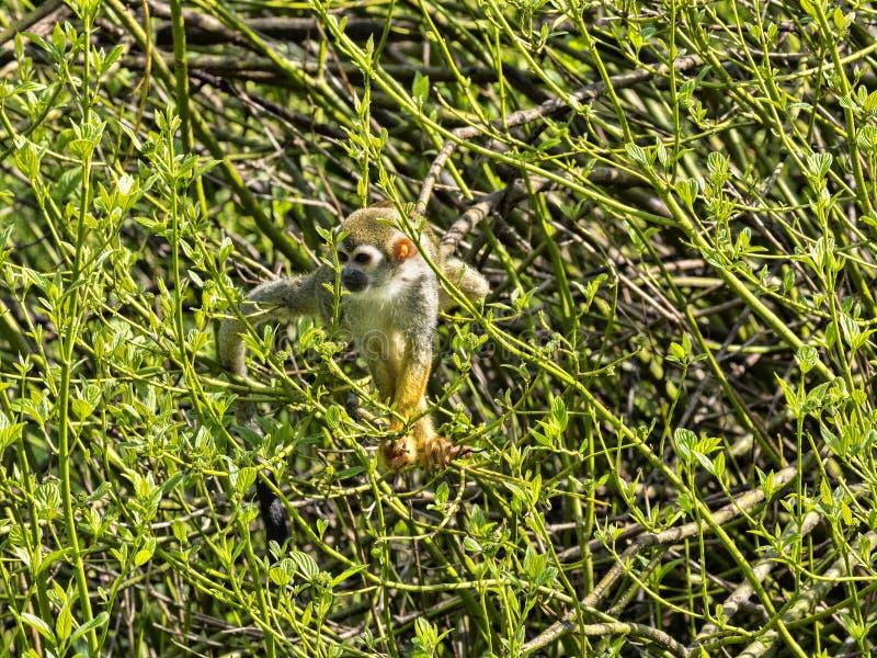 共同的松鼠猴子,松鼠猴属sciureus,寻找在立场的食物 免版税库存照片
