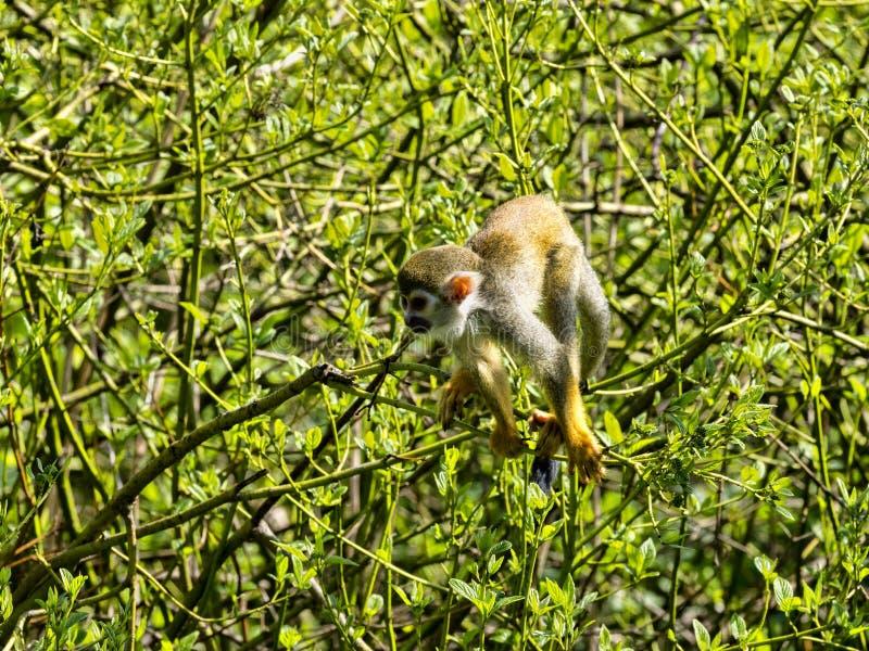 共同的松鼠猴子,松鼠猴属sciureus,寻找在立场的食物 免版税库存图片