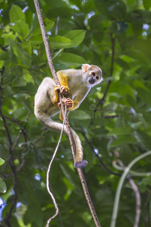共同的松鼠猴子,松鼠猴属sciureus 图库摄影