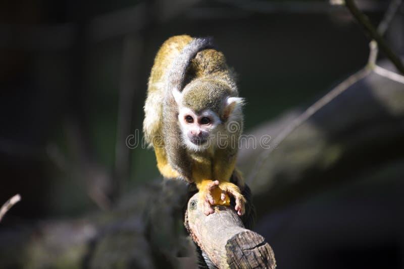 共同的松鼠猴子,松鼠猴属sciureus在大家庭居住 库存照片