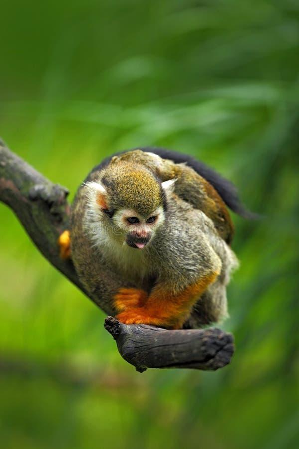 共同的松鼠猴子,松鼠猴属sciureus,动物坐分支在自然栖所,哥斯达黎加,南美 免版税库存照片