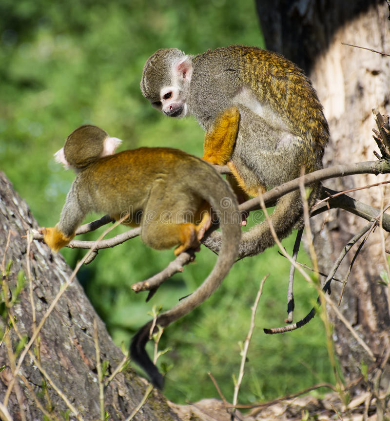 共同的松鼠猴子(松鼠猴属sciureus)的对 免版税库存图片