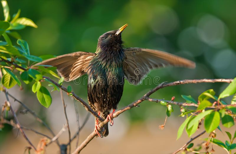 共同的椋鸟唱歌与在樱桃树的被涂的翼 库存图片