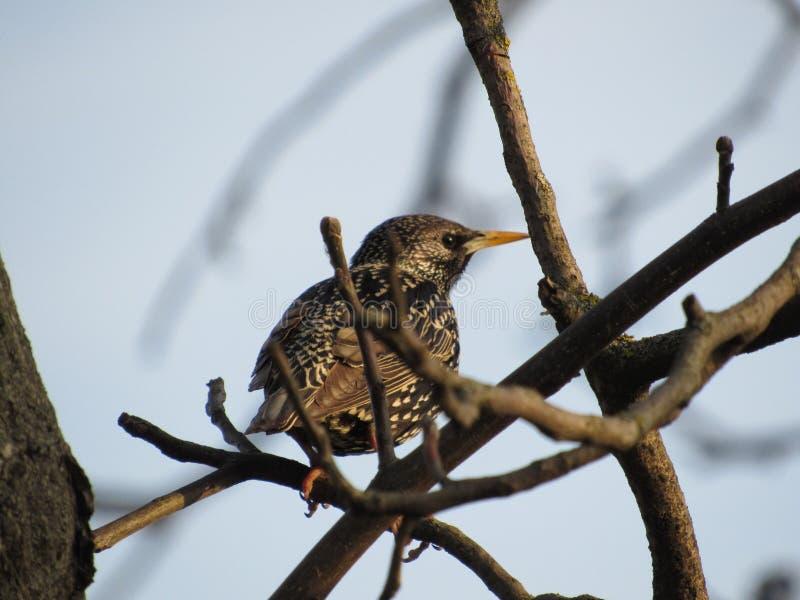 共同的椋鸟科树日落鸟森林 库存图片
