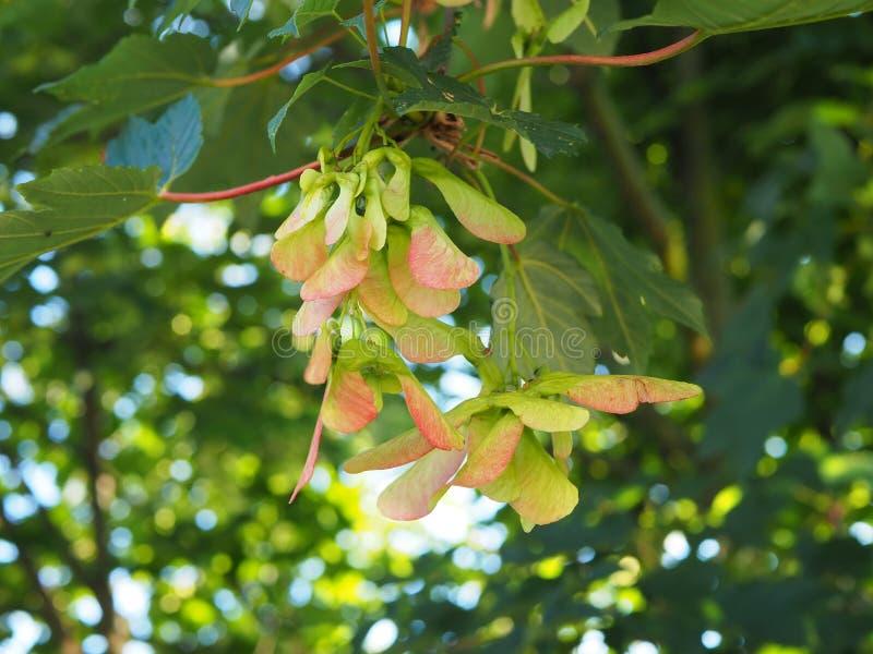 共同的槭树种子在晴朗的夏日,被弄脏的背景 免版税图库摄影