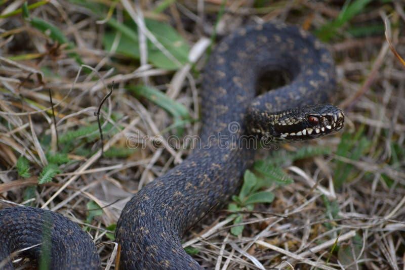 共同的欧洲加法器或共同的欧洲蛇蝎,蝰蛇属准备好berus的蛇攻击 免版税库存图片