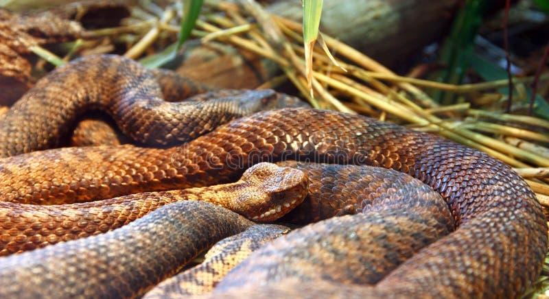 共同的欧洲加法器,蛇 免版税库存照片