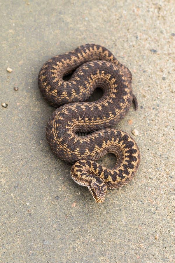 共同的欧洲加法器,蝰蛇属berus的布朗女性,在土路,图片从上面 免版税库存图片