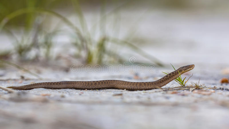 共同的欧洲蛇蝎 免版税图库摄影