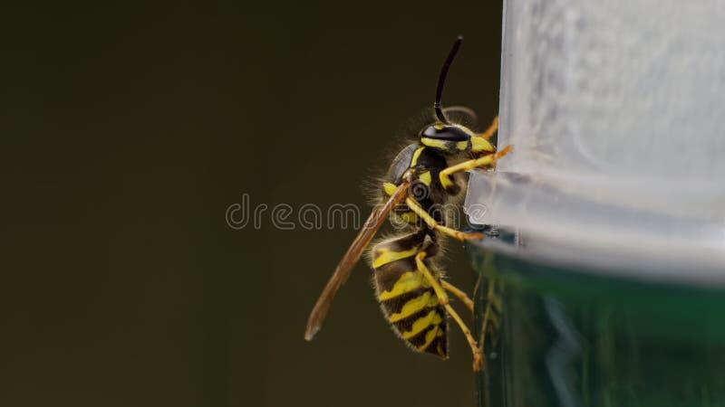 共同的欧洲黄蜂(寻常的群居黄蜂) 图库摄影