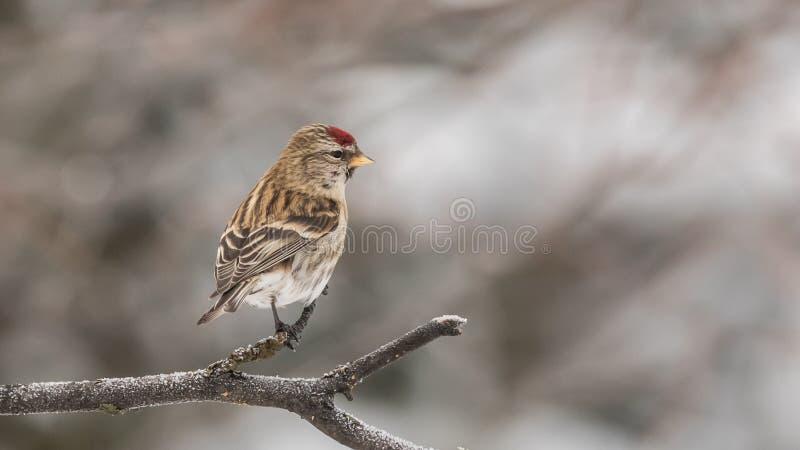共同的母红弱鸟鸟 免版税库存图片