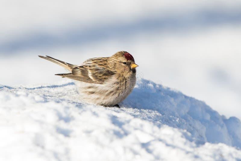共同的母红弱鸟鸟 免版税库存照片