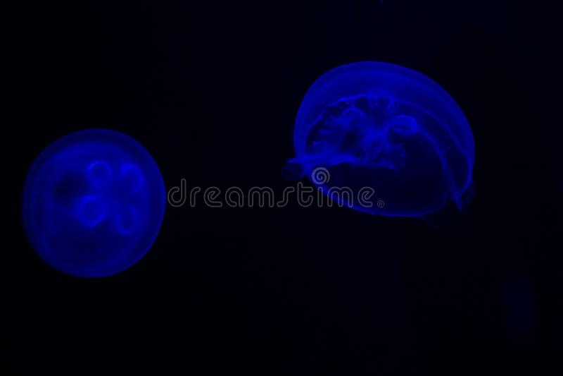 共同的水母奥雷利亚aurita有在蓝色口气的黑暗的背景也叫,月亮水母、月亮果冻或者茶碟果冻 免版税库存照片