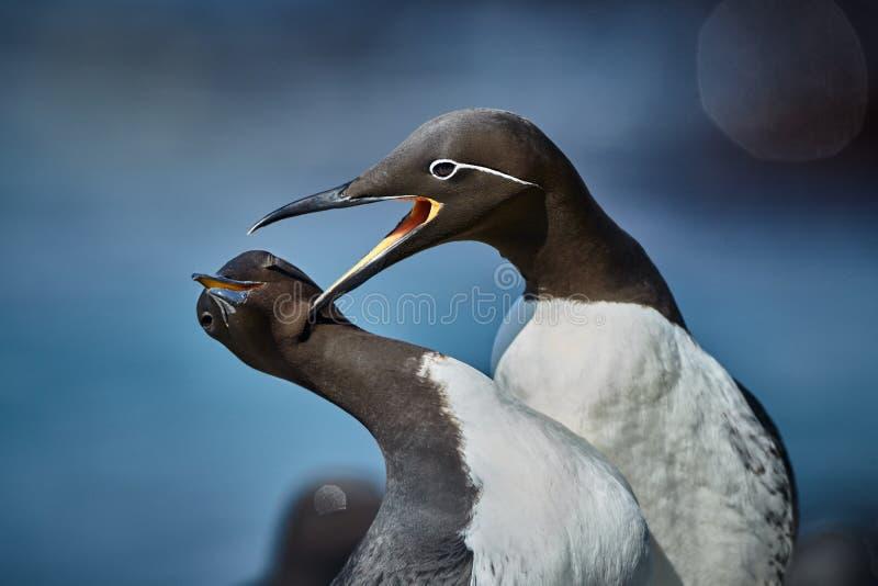 共同的海雀科的鸟尿aalge,从Norwai的浪漫场面 库存照片